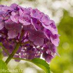【2017年】マクロレンズで撮影した美しい紫陽花の写真まとめ